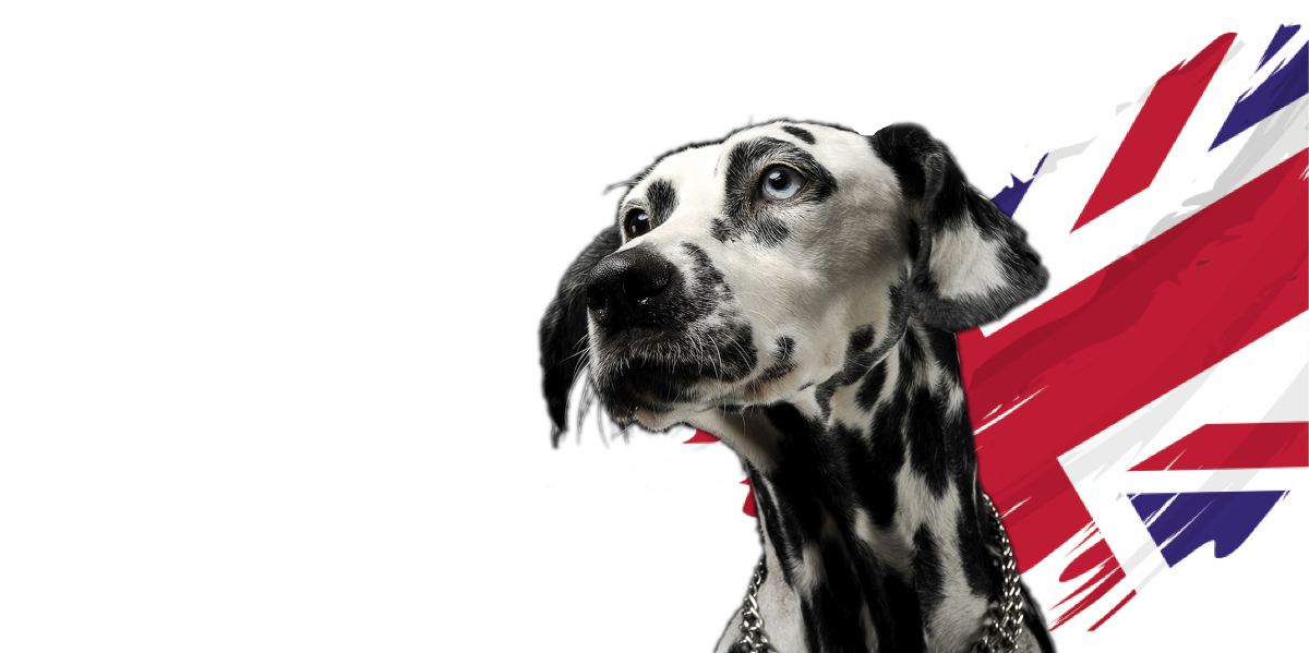 Dalmation dog with UK flag